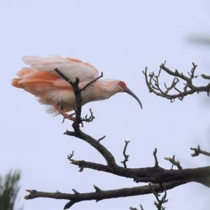 朱鷺と枯れ枝(1)
