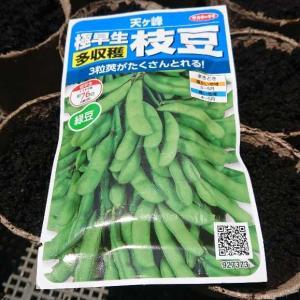 枝豆 種まき