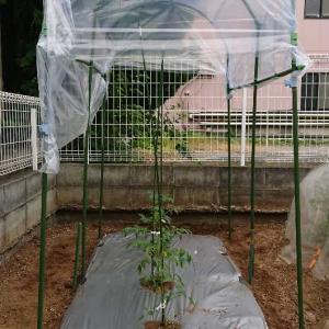 トマト 植え付け