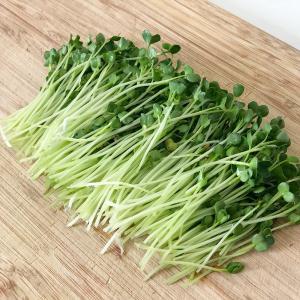 【キッチン菜園】栄養たっぷり! スプラウトを育てる方法 – 豆苗とカイワレ大根の食べ頃 –