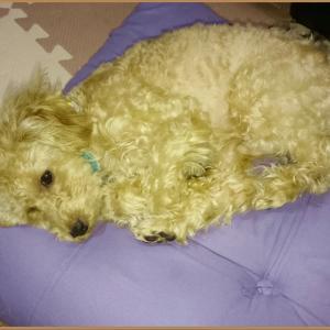 【室内犬トイプー日記 PART2】少し成長したトイプー