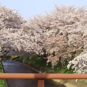 愛知の大人気お花見スポット【岩倉五条川の桜】第二弾!