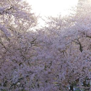 愛知県屈指のお花見スポット【岩倉五条川の桜】 ~完結編~
