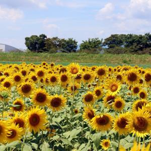 夏の風物詩!東海地方の人気ひまわり畑【大垣ひまわり畑】PART2