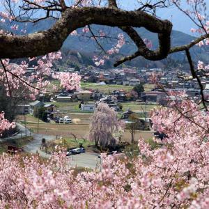 天下第一の桜!【高遠城跡のさくら祭り】に行ってみた!PART1 with 「ドラクエウォーク・ご当地スポット巡り」