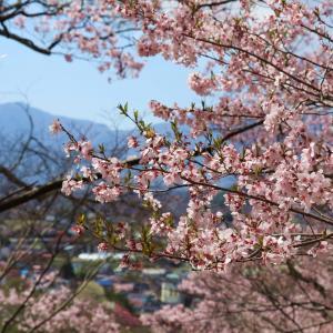 天下第一の桜と謳われた【高遠城跡公園】に行ってみた!PART2