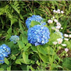 日本古来の原産種・八仙花「紫陽花」を撮ってみた!