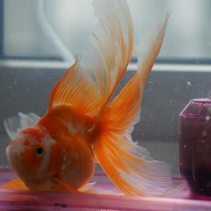 泳げない金魚