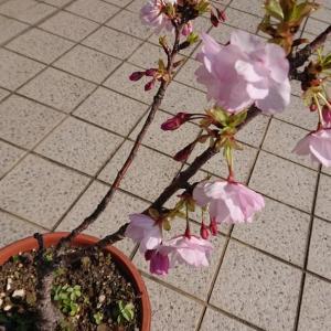 今日の桜とりんごの花