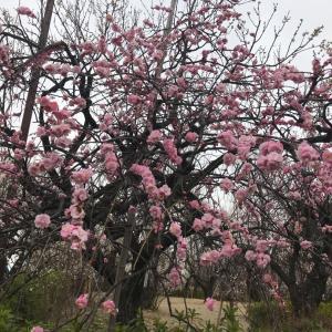 梅まつり♡羽根木公園