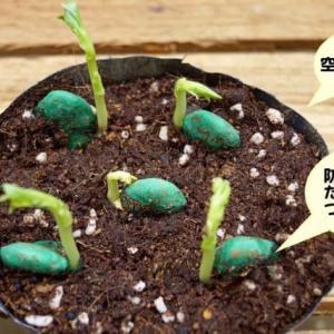 あなたは空豆の発芽を見たことありますか?