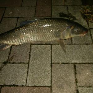 シーバス狙ってたら河口で鯉が釣れました!