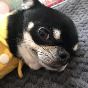 卒業犬スムチーのピノリちゃんからのお便り
