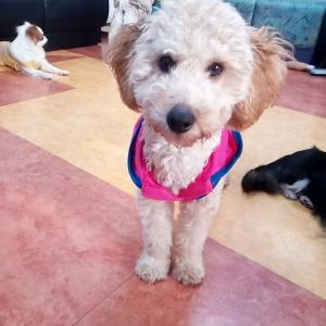 【里親募集中⠀】トイプードル、5ヶ月の仔犬です。