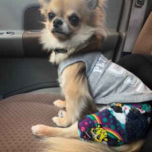 【卒業犬⠀】ロングチワワのライムくんからのお便り