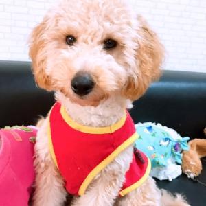 【⠀里親募集中】トイプードル仔犬5ヶ月。会いに来てください。