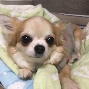 【卒業犬⠀】ロングチワワのラブリちゃんからのお便り