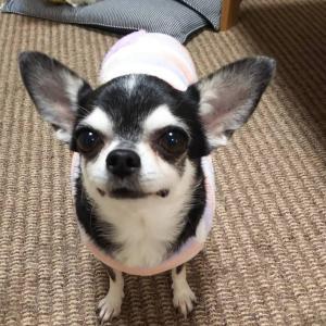 【卒業犬⠀】スムースチワワのラブちゃんです。