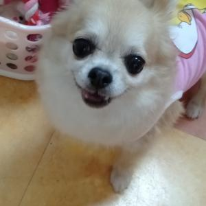 卒業犬 チワワのサファイアちゃん里帰り〜です。