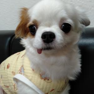 卒業犬 まる子ちゃんこと、マハロちゃんが遊びに来てくれました。