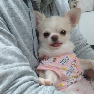 卒業犬 ロングチワワのマリナちゃんが遊びに来てくれたよ