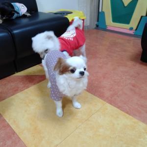卒業犬 まる子ちゃんこと、マハロちゃんが遊びに来てくれたよ