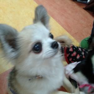卒業犬、ロングチワワのクローバーくん遊びに来てくれました。