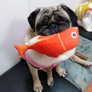 看板犬パグ 鯛を食べる?