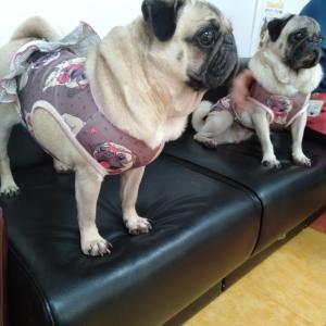 看板犬パグ、ファッションショー?