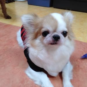 卒業犬ロングチワワのハナちゃんこと、ココちゃんが遊びに来てくれたよ