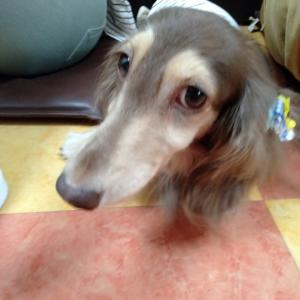 卒業犬 ダックスのミモンヌちゃんこと、ノアちゃんが遊びに来てくれたよ