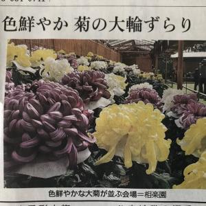 第68回 神戸菊花展 相楽園