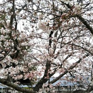 雨の日の桜を見て