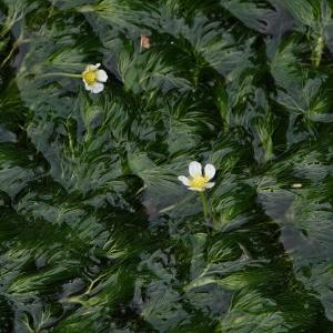 水辺の白い花