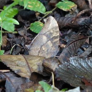 落ち葉が似合うクロコノマチョウ