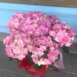 ピンク色の紫陽花に秘められた思い