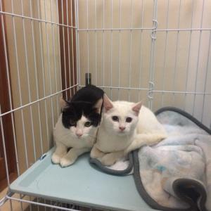 ハチワレちゃんと白猫ちゃんの手術