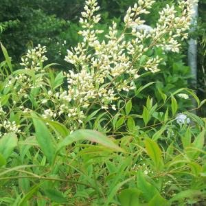 南天の白い花