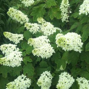カシワバアジサイの白い花