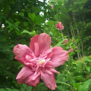 丹生都比売さまのピンクの木槿