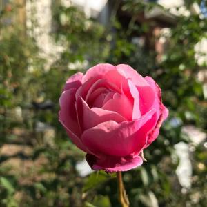 さつきを抜いて薔薇を植え付け