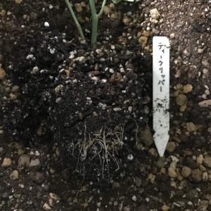 挿し木の植え替え2