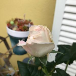 DAキーラが咲きました