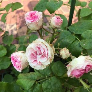 今朝の薔薇とシュート処理