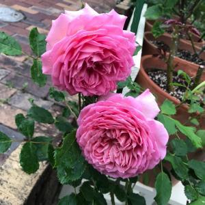 今日の薔薇と挿し木