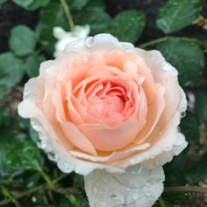 雨粒をまとった薔薇