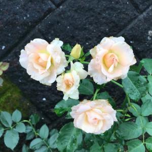 今朝の薔薇とシュートの処理
