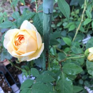 今朝の薔薇と薔薇の枝抜き