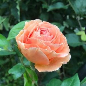 今朝の薔薇と良いお花の咲かない蕾