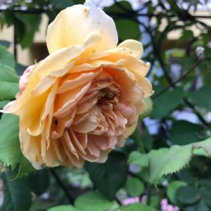 薔薇の事色々